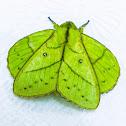 Rose Myrtle Lappet Moth ♂