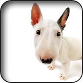English Bull Terrier Wallpaper