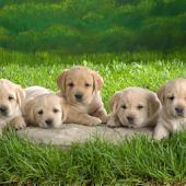 Puppy Theme HD