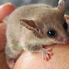 Southwestern pygmy possum