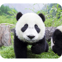 Cute Panda Photography icon