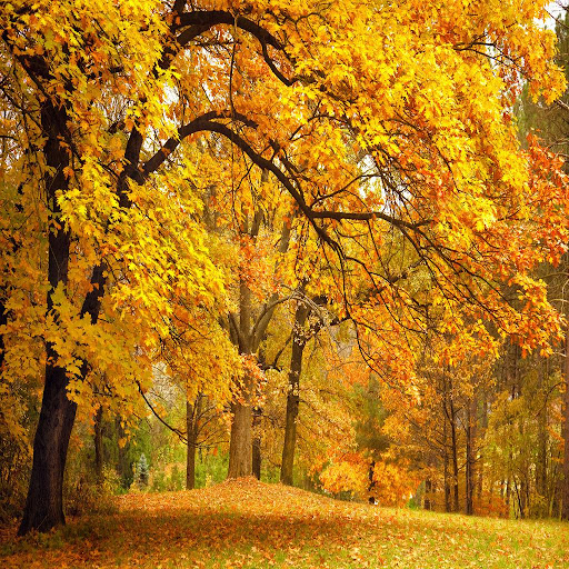 Autumn Tree Live Wallpapers