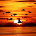 Bird Flock Live Wallpaper logo
