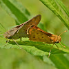 Fiery skippers (mating)