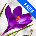 3D Crocus Flowers on Snow Free