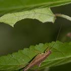 Silent Bush Cricket