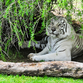 White Tiger by Charel Schreuder - Animals Lions, Tigers & Big Cats