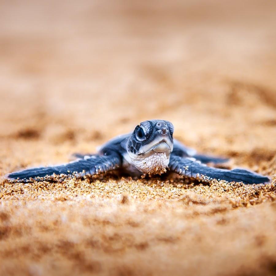 sea turtlr by Kimpul Kimpul - Animals Sea Creatures ( marine, sea turtle, sea, baby, turtle,  )