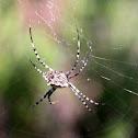 Spider (Aranha)