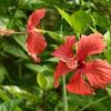 Hibiscus 大紅花