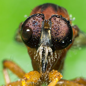 Wet Eyes by Stevie Go - Animals Insects & Spiders ( macro, fly, dew, wet, nikon, morning, insects, insect, closeup, robber, eyes, robberfly,  )