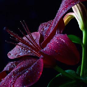 by Cezar Pegoraro - Flowers Single Flower (  )