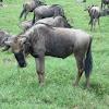 Ñu. Blue Wildebeest
