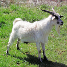 Male goat by Norma Moore - Animals Other Mammals ( clove )