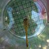 Vagrant Darter (young male) - Gemeine Heidelibelle (männliches Jungtier)