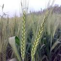 Green Wheat ( गेहूँ की बालियाँ )