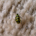 Spotted Cucumber Beetle