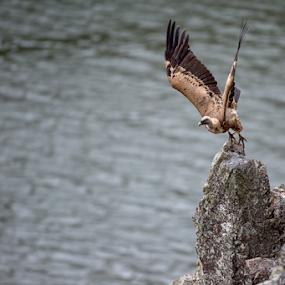 Take off by Marsilio Casale - Animals Birds ( bird, vulture, extremadura, griffon )