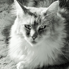 A Black And White Mainecoon Photo by Annette Long-Soller - Black & White Animals ( maincoon, cat, female, black and white, portrait )