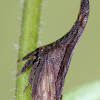 Widefooted Treehopper, Eastern Thornhopper
