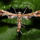 Grape Plume Moth