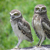 Juvenile burrowing owl