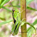 Two-striped Grasshopper nymph