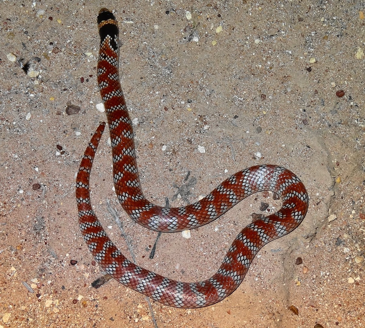 Australian coral snake