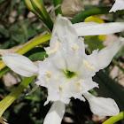 Sea Daffodil; Azucena de Mar