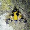 Wasp Mimic Moth