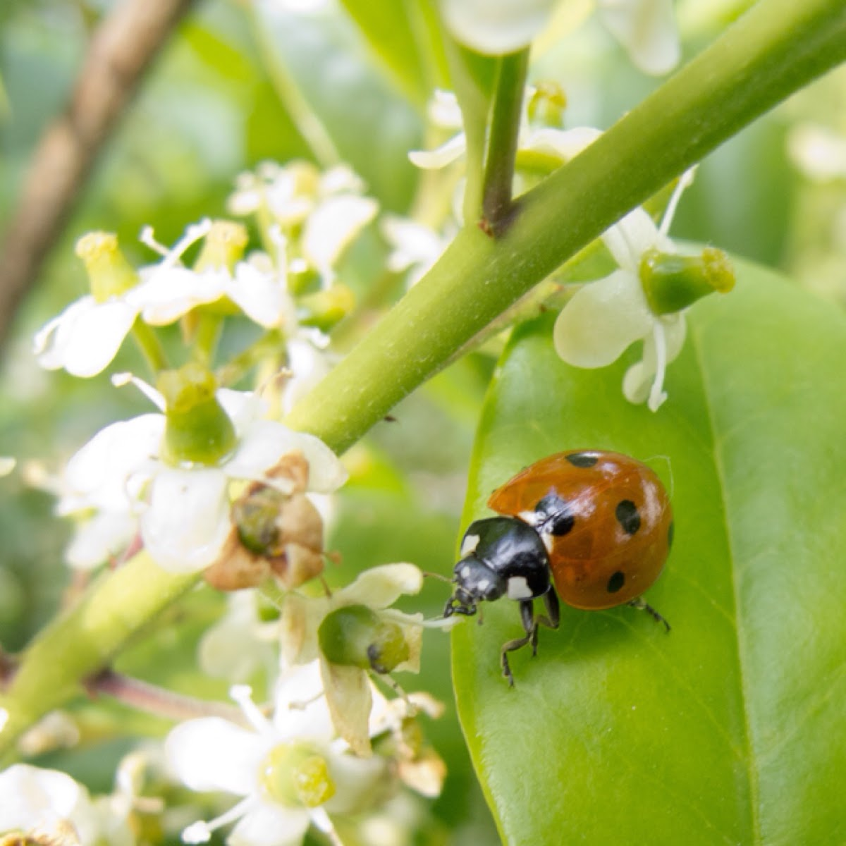 Seven spot ladybeetle