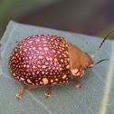 Ornate leaf beetle
