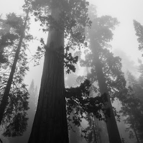 Yosemite Trees by Anthony Ashcroft - Landscapes Forests ( honeymoon, anthony, usa,  )