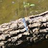 Eastern Pondhawk Skimmer