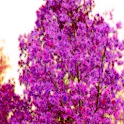 Blossom Land LWP Pro