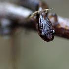 Dunn's Salamander