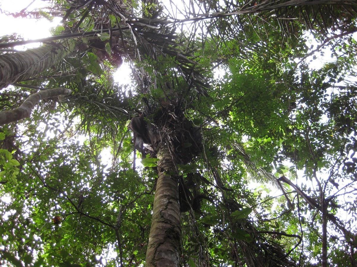 Maripa Palm