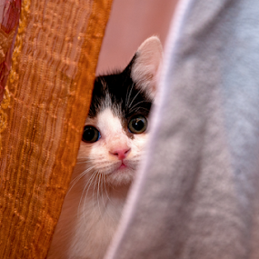 Hide and seek by Luana Racan - Animals - Cats Playing ( , baby, young, animal )