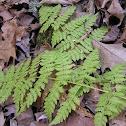 Evergreen Wood Fern