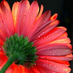 by Sathyanarayanan Shanmugam - Flowers Single Flower