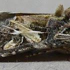 Velvet Armyworm Moth