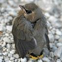 Cedar waxwing (fledgling)