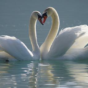 Love by Branko Frelih - Animals Birds (  )