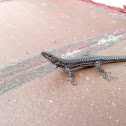 Lagartija ibérica / Iberian Wall Lizard
