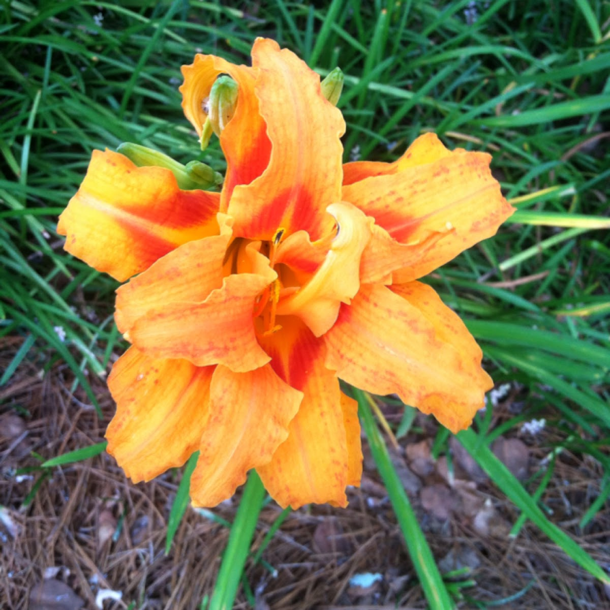 Daylily (triple bloom)