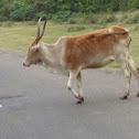 Hallikar Cow