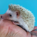 Domestic Hedgehog