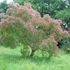 Árbol del humo o de las pelucas. Smoketree