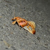 Habroscopa Moth