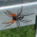 Orange-legged swift spider